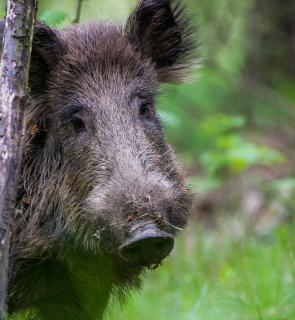 Schweinisches Potrait