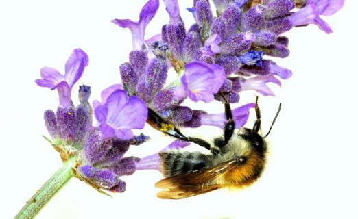 Lavendel-Liebhaber