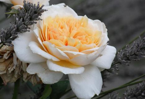 Rose und Lavendel