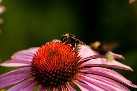 Biene bei der Arbeit