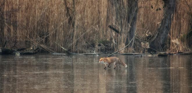 Fuchs auf dem Eis