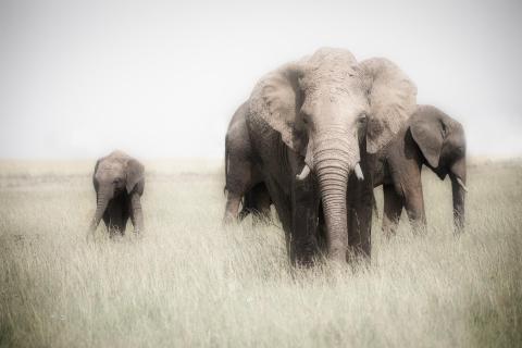 Elephant Pepper
