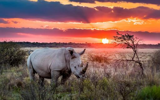 Rhino Sundowner