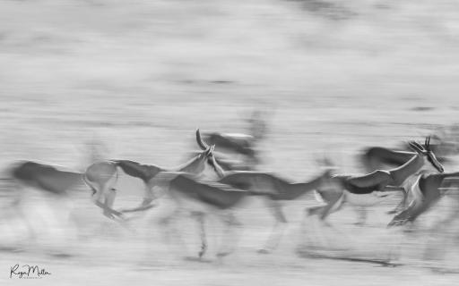 Springbok Race