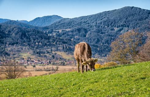 Der Traum einer Kuh...