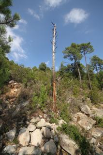 Corsica Dead Tree