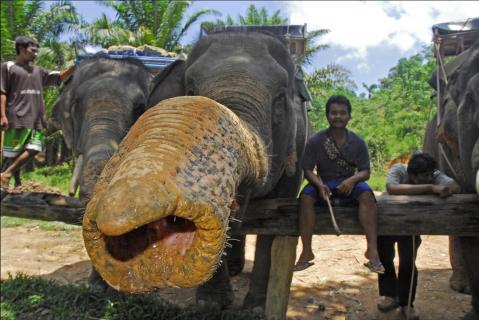 Elefant mit langem Rüssel