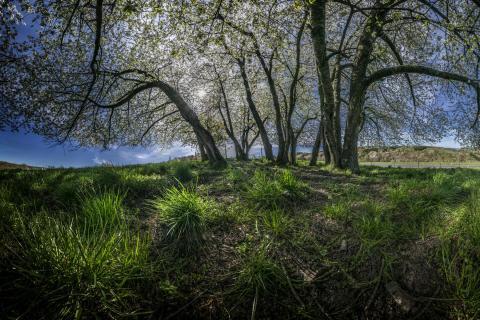 Kirschbaumgruppe in Frühjahr