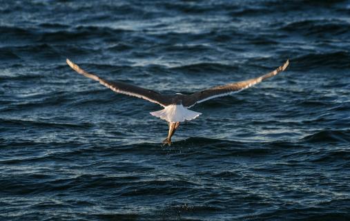 Hunting Seagull