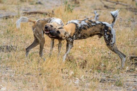 Afrikanische Wildhunde (Lycaon pictus)