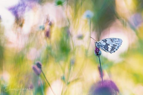 Schachbrett Schmetterling