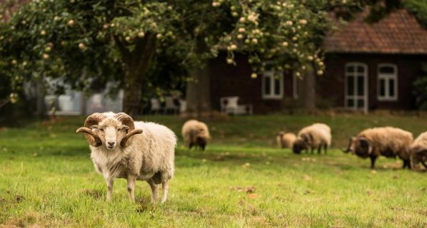 Ouessantschaf-Herde