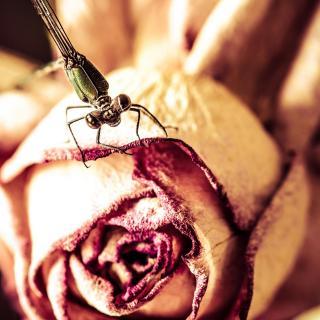 ...auf der Rose