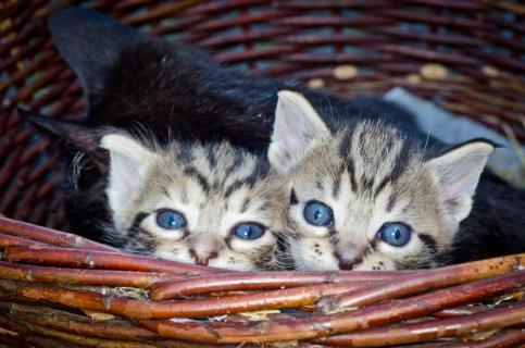 Siris Kitten