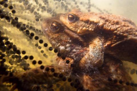 Erdkröten am Laich