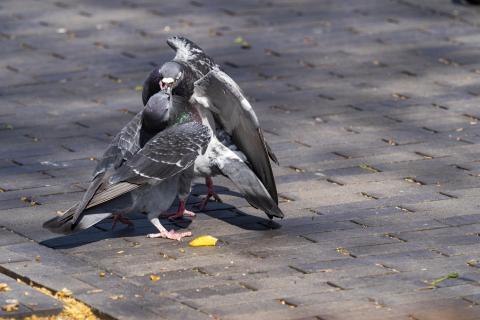 Taubenkampf