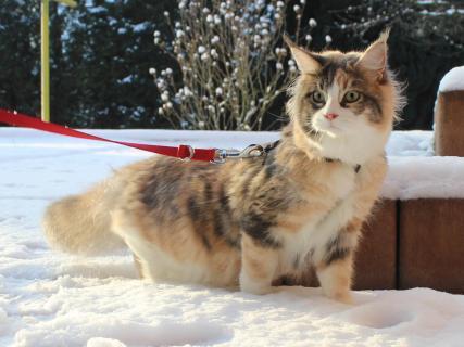 Felidae im Schnee