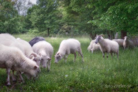kleine Herde