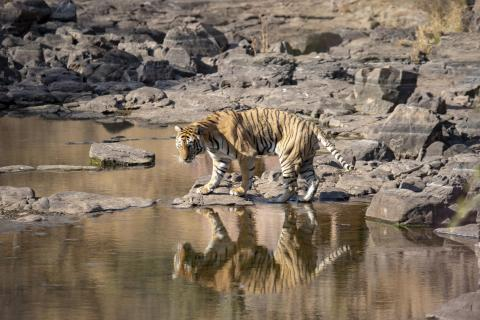 Tigermännchen, ca. 3 Jahre alt (1)