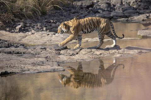 Tigermännchen, ca. 3 Jahre alt (2)