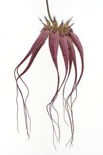 Krakenorchidee