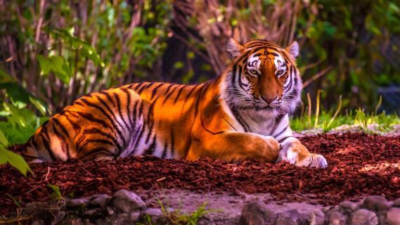 AAA 6022 1a Tiger liegend 976-1