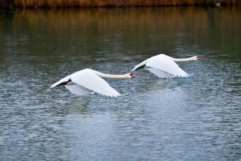 Zwei Schwaene im Flug übers Wasser