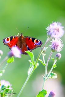 Schmetterling und seine Farben