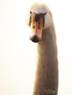 MG_0977 Schwan swan hell