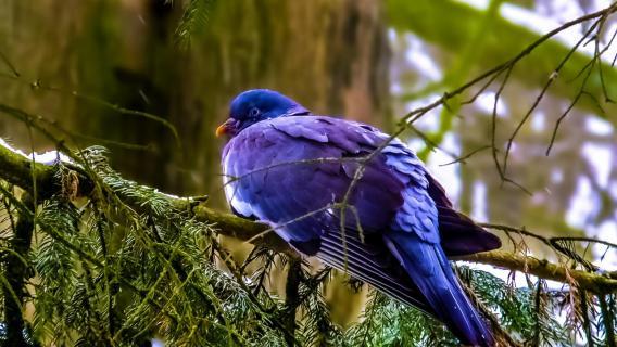 Taube im Winter - Sitzend auf einem Ast