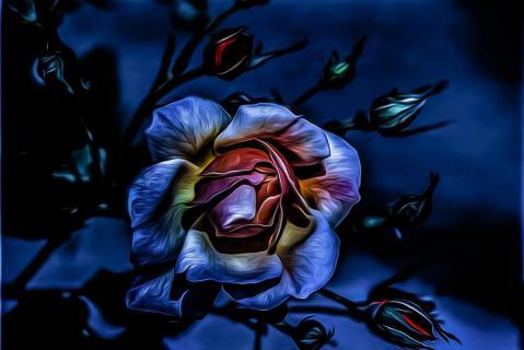 rosé - Die Rose