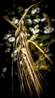 Weizen (Makro) 3