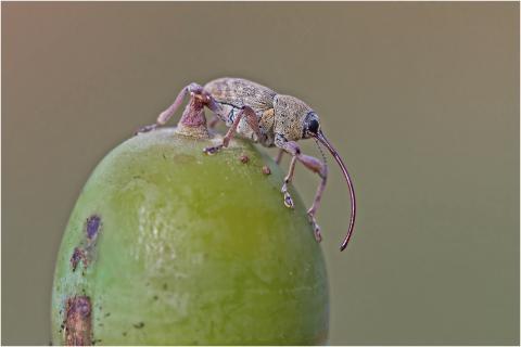 Gewöhnlicher Eichelbohrer (Curculio glandium)