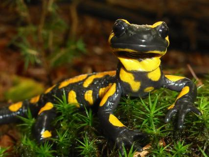 Salamander Portrait