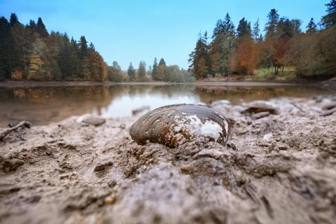 Teichmuschel am Ebnisee