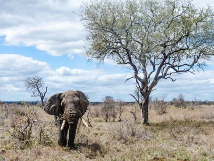 Elefant im Krügernationalpark