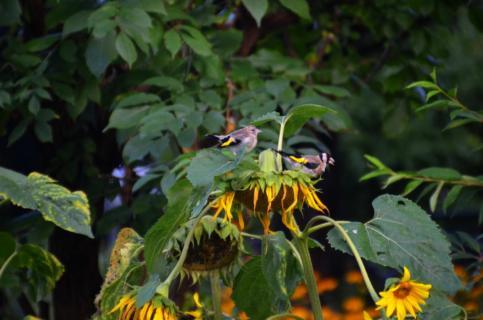 Vögel auf Sonnenblume
