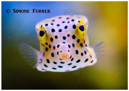 Der juvenile Kofferfisch