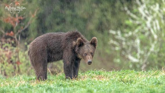 Bär im Regen