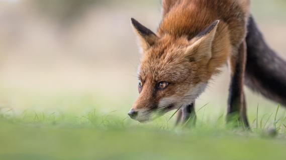 Fuchs im Fokus
