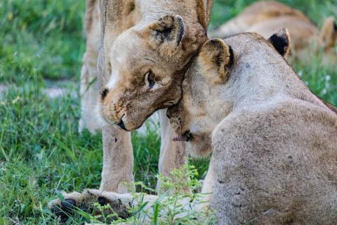 Cosy lions