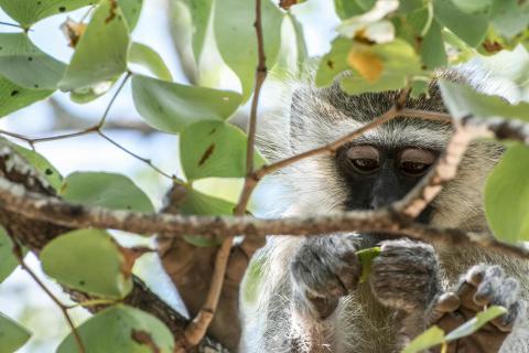 Entspannter Vervet-Affe
