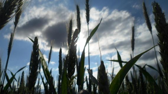 dunkles Getreide- blauer Himmel