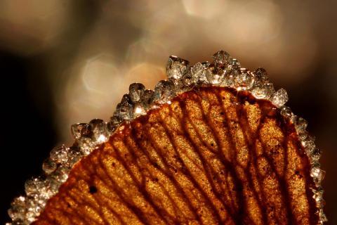 Raureifkristalle auf Ahornsamen