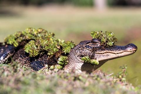Alligator mit Schmuck