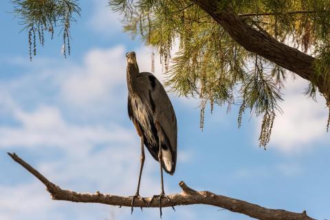 Great Blue Heron genießt die Aussicht