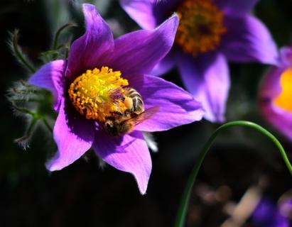 Biene auf Küchenschelle (Pulsatilla Grandis)