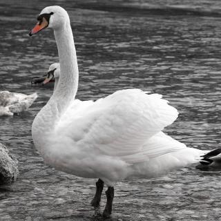 Schwan am Ufer der Steyr