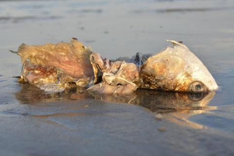 Toter Fisch am Meeresufer