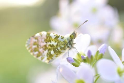 Butterfly - Springtime